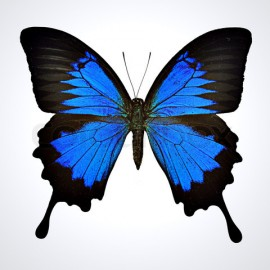 Black and blue butterfly on light gray background- Papilio ulysses ampelius