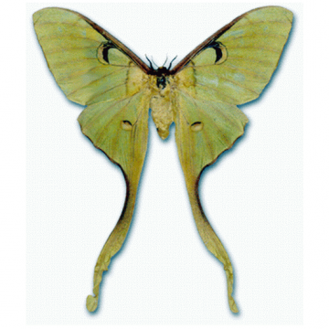 бабочка Actias maenas