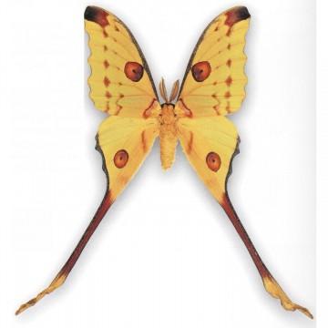 бабочка Argema mittrei