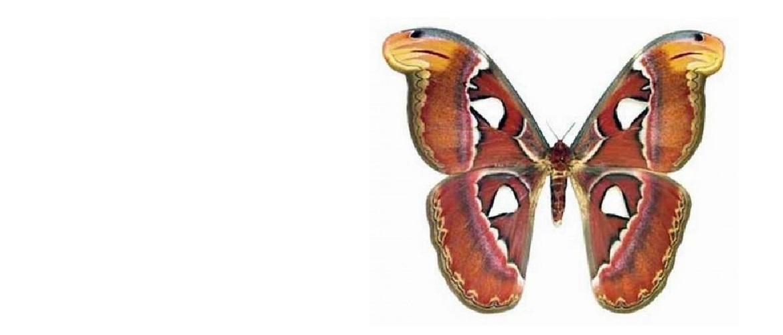 Бабочка Attacus atlas в рамке (Самка)