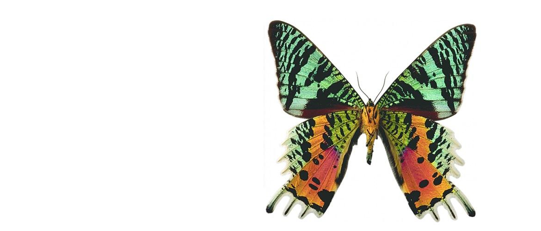 Бабочка Urania ripheus в рамке