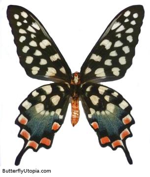 179-papilio-antenor