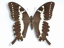220px-Papiliodelalandei_Godart,_-1824-Female