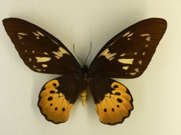 MP_-_ornithoptera_goliath_1