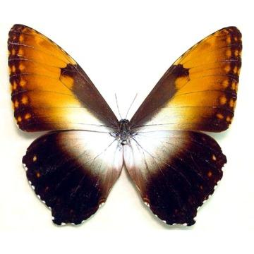 Morpho-Hecuba-obidona