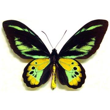 Ornithoptera-Rothschildi-Birdwing-Butterfly