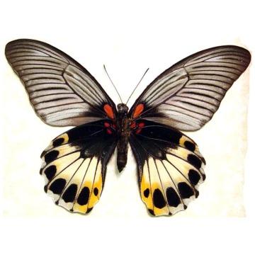 Papilio-Memnon-Female-Verso