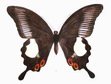 Papilio iswara
