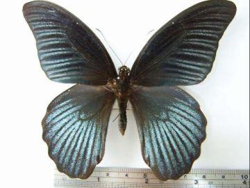 Papilio-memnon-3