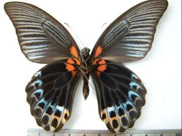 Papilio_memnon_heronus02