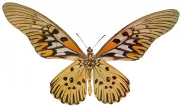butterfly 1348 (5.0Х3.0)