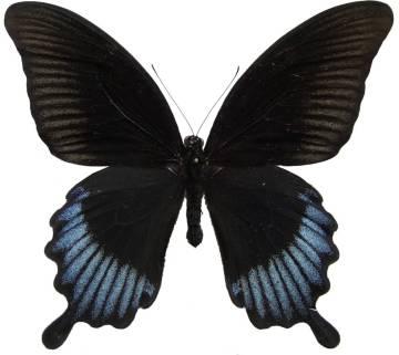 csm_Papilio_ascalaphus_m_01_o_TN_685f73c4ca