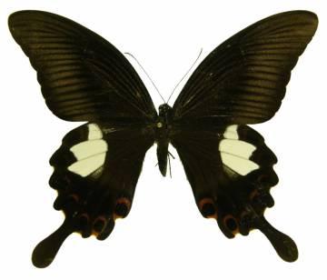 csm_Papilio_helenus_f_08_o_NHM_03_8b813f0289