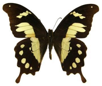 csm_Papilio_hesperus_f_additionis_04_o_NHM_01_de86ac0a5d