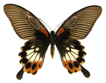 csm_Papilio_memnon_f_distantianus_f_04_o_NHM_01_41e468e109