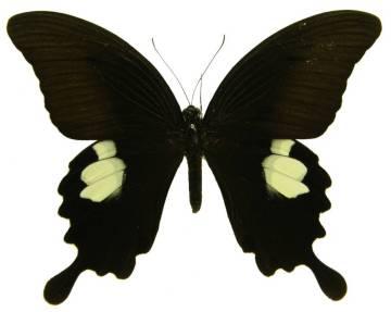 csm_Papilio_sataspes_06_o_NHM_03_b253784cc2