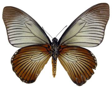 csm_Papilio_zalmoxis_f_13_u_NHM_01_4b86709530