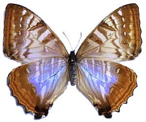 Бабочка Morpho sulkowski самкав рамке