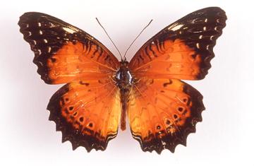cethosia-sp