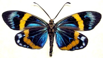 eterusia-repleta-male