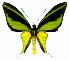ornithoptera-meridionalis