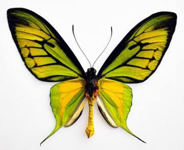 ornithoptera-paradisea